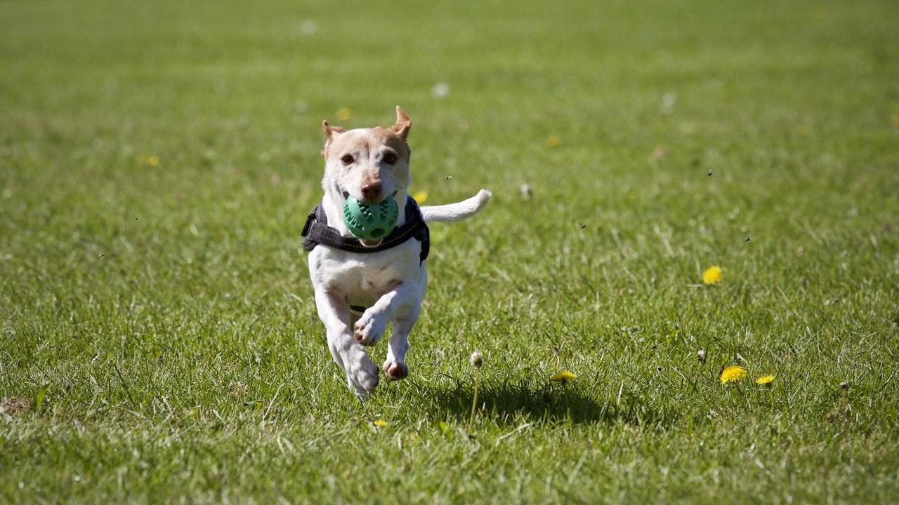 Hund springer på gräsmatta